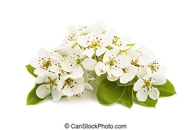 pear flower isolated