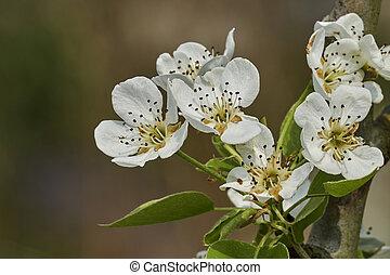 pear flower on tree