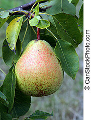 Pear fruit on a branch