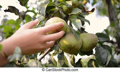 hand picking pear fruit from tree branch by summer evening
