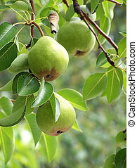 Pear Hangover - Three pears hanging from tree, natural...