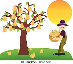 Pear harvest.