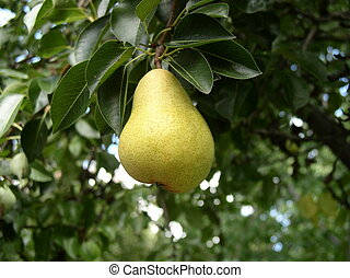 Pear on a pear tree - freckled Bartlett pear ready to be...