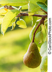 Pear on a tree in sunny day in fruit garden