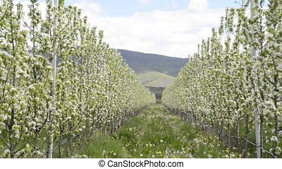 pear orchard with blossoming trees in spring.