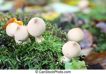 Pear-shaped puffballs (Lycoperdon pyriforme) in moss.