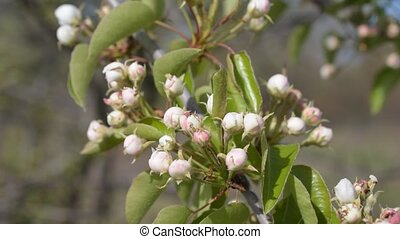 Pear tree branch with unbudded flowers and green leaves