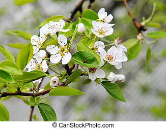 Pear tree flower spring time with dark background.
