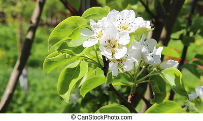 Branch of a pear tree in bloom on light wind