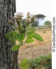 Pear tree twig with buds in spring . Tuscany, Italy