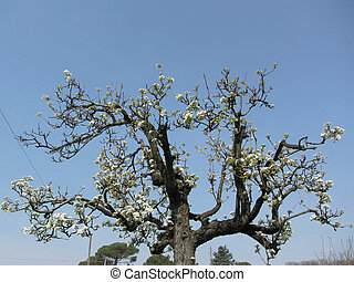 Pear tree with blossoms against the blue sky