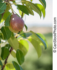 Pear tree with fruit in summer day.