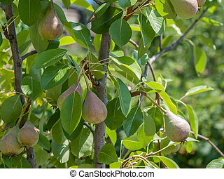 Pear tree with fruits in summer day.
