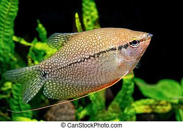 Pearl gourami (Trichopodus leeri)