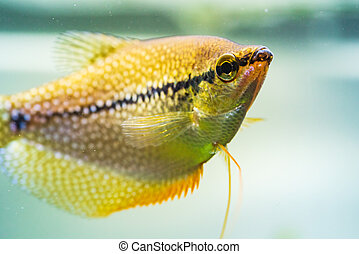 Pearl gourami Trichopodus leerii freshwater aquarium fish in fish tank. Aquaria concept
