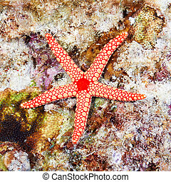 Pearl sea star (Fromia monilis) in the Red Sea, Egypt.