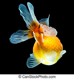 Pearlscale Goldfish Finnage