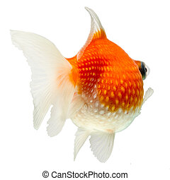 Pearlscale Goldfish Isolated On White