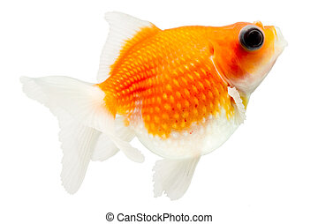 Pearlscale Goldfish Profile On White