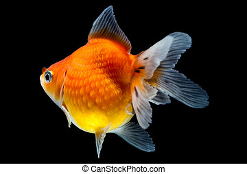 Pearlscale Goldfish Profile - Pearlscale Goldfish Isolated...