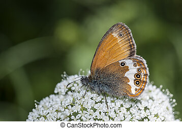 Pearly Heath (Coenonympha arcania) butterfly