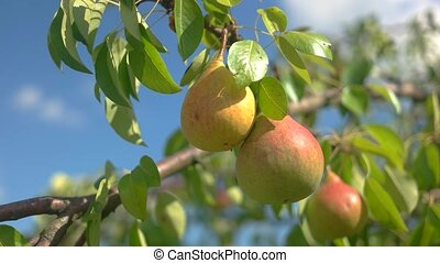 Pears and leaves. Ripe fruits under sunlight. Natural food...