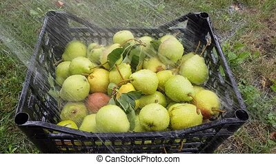 pears are washed from a hose - The harvest of pears in a...