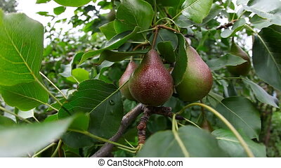 Pears. - Few pears on a tree branch.
