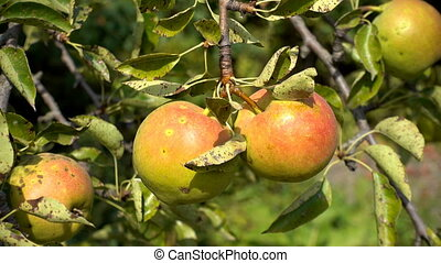 pears fruit on tree with leaves of summer, sunlight,...