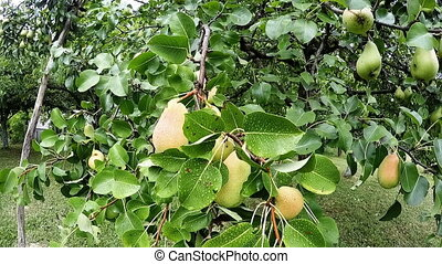 Pears fruits hanging on pear tree, full HD video