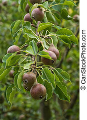 Pears growing on a tree in summer