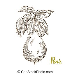 Pears, hand drawn sketch vector illustration