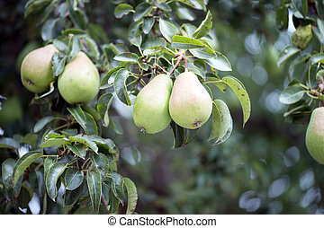Pears in a pear tree