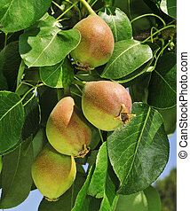 pears in a tree