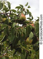 Pears in the garden