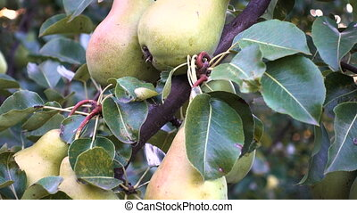 pears on a tree branch at the autumn garden