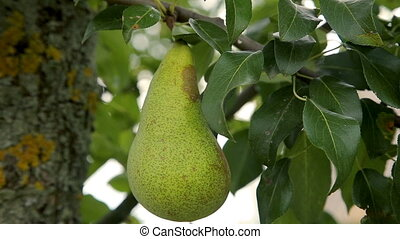 Pears on a tree branch in the orchard