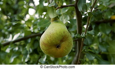 Big ripe pears on a tree branch in the orchard