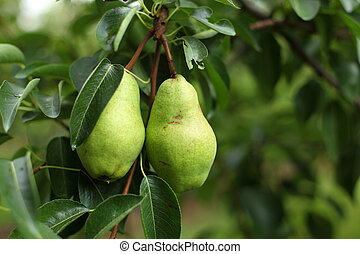 Pears on the tree branch