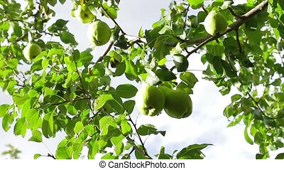 Pears on the tree. - Fruit garden. Pears on the tree....