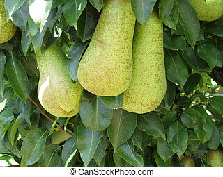 Pears on tree branches