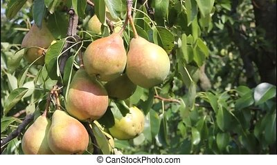 Pears - Hanging on a pear tree %u2013 a useful food.