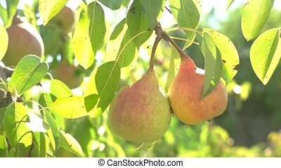 Pears under sunlight. Green leaves on branch. Juicy fruits...