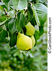 Pears yellow on branch