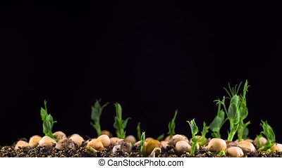 Peas Beans Germination on Black Background. Timelapse.