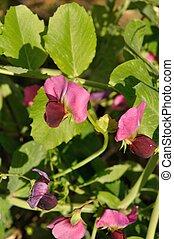Peas flowers in a garden