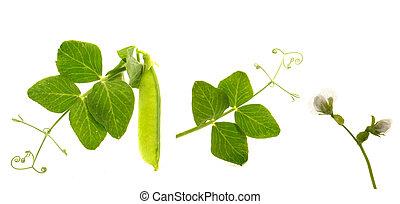 Peas - Garden fresh peas, on white...