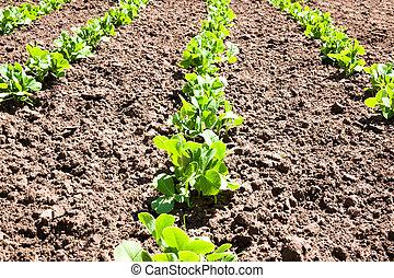 Peas home plantation