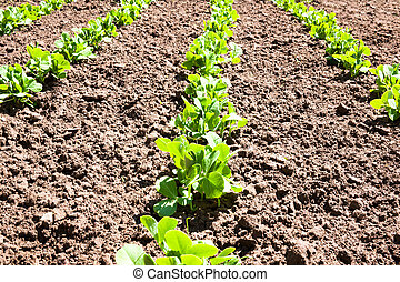 Peas home plantation