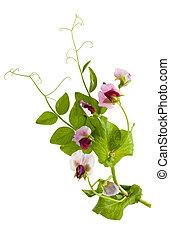 Peas plant - Sweet pea flowers (Lathyrus odoratus)